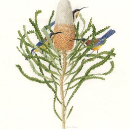 Banksia prionotes and Spinebill Honeyeaters