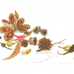 Eucalyptus nuts & hakea
